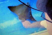 Petting the Manta Rays