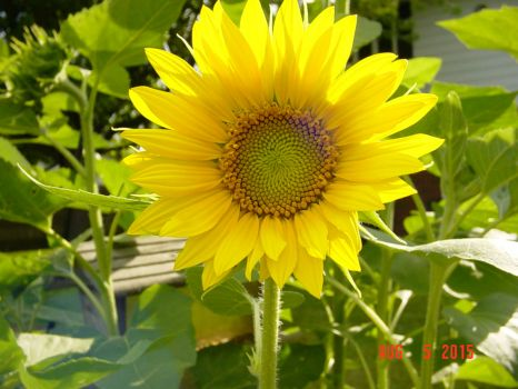A perfect sunflower