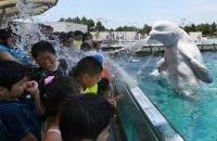 A beluga whale sprays water towards visitors