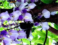 Host na květu