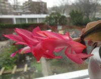 My red 'Christmas' Cactus....