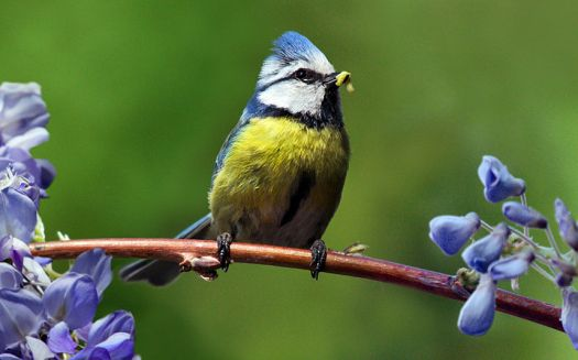 BIRDS-BLUE-TIT