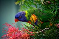 Beautiful Rainbow Lorikeet at Dalmeny, NSW, Aus,