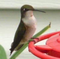 Theme   Hummingbird