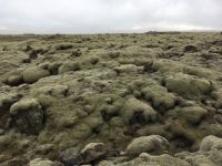 Moss Covered Lava Rocks in Iceland