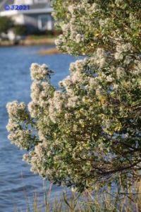 Fuzzball bush.