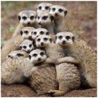 ~Meerkat Family~