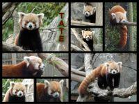 Red panda Tate