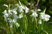 White Bells, Cornwall