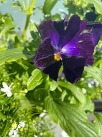 Late bloomer, Viola Tricolor