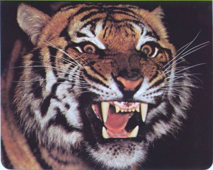 Tiger growl smaller