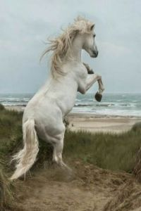 Rearing white horse by the ocean....bandit...