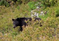 Bear in the bush