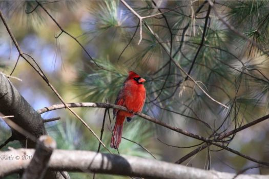 Cardinal Perched on Pine Tree