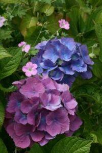 Hydrangea and Hardy Geranium