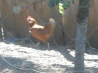 Watching our Chickens - Blurry Rhode Island Red
