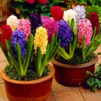 Hyacinth Mix from Seedsnpots