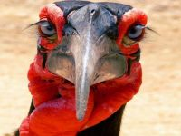 """I'm looking for you.!""  'Southern Ground Hornbill', Tanzania.."