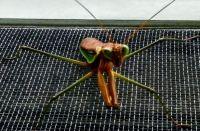 Praying Mantis Clings