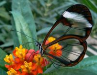 See Through Butterfly