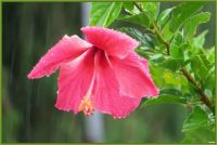 Hibiscus in the rain...