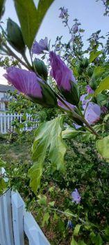 neighbor's flower
