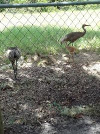 Back yard pasture  Sandhil Crane & the one baby left.  It has grown a LOT from the last photo.
