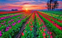 Tulip Field with Sunset