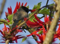 Bulbul in the Coral trees