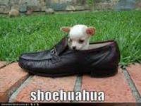 My Shoehuahua - Laci