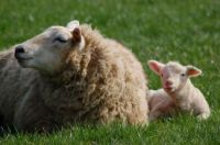 lambing time..Nicholas Tarling photo