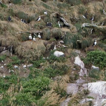 Puffins Guarding Burrows, Witless Bay Ecological Reserve, NL, Canada