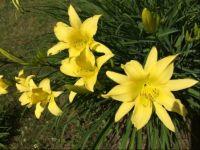 Lemon lilies ~