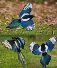 Magpie glamour shots