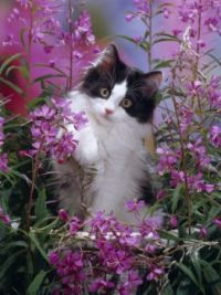 rosebay willowherb kitten