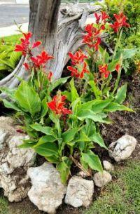 Canna Lilies in Garden