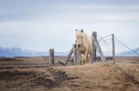 Icelandic Horse in Iceland