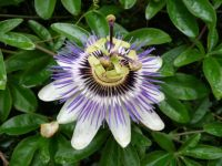 passionflower in my garden