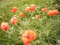My Red Poppies For Remembering
