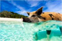 Bahamas Exuma-Island swimming pigs