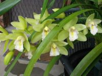 Delicate cream and green orchid