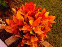 crotons on fire