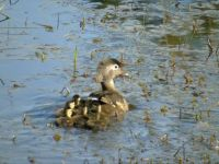 Common Merganser with five chicks
