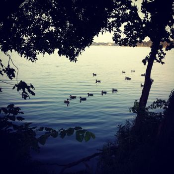 ducks on a peaceful lake