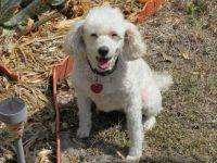 Buttons the Bichon-poo