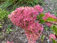Blush-hued Peegee Hydrangea