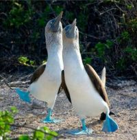 Happy Blue-footed Boobies