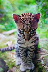GORGEOUS BENGAL CAT