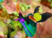 Nudibranch(sea snails or slugs)