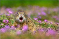 surprised ground squirrel